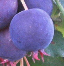 Allegheny serviceberry blueberry flavored fruit tree Edible berries LIVE PLANT