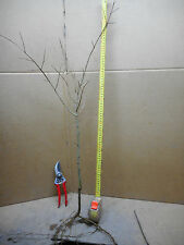 Pomegranate Fruit tree 13 Varieties of trees, average plant is 80cm high