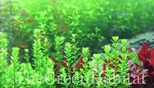 Bacopa Monnieri Moneywort Live Aquarium Freshwater Plants Java Moss Fern Anubias
