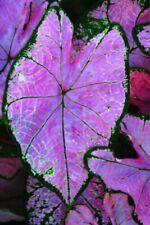 Rare Elephant Ear Bulbs Perennial Resistant Tropical Plant Caladium Hardy Plant