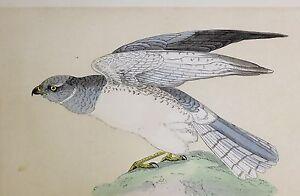 c1875 ANTIQUE PRINT ~ HEN HARRIER HAND COLOURED British Birds Morris