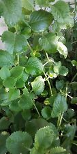 4  Mint Thyme Herb plants Succulent plant Cuttings Fragrant Indian Borage EASY