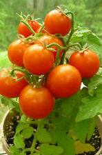 20 Micro Dwarf Tomato Seeds : Mohamed : 2019