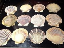 One Dozen Provincetown Cape Cod Naturally Collected Scallop Seashells
