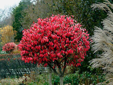 Euonymus alatus (Winged Spindle Tree)  Scarlet Foliage in Autumn - 20 seeds