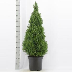 Picea glauca Conica  Zuckerhutfichte Fichte verschiedene Größen zur Auswahl