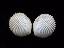 Sea Shells Trachycardium flavum 55mm ID#3720A