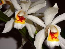 Coelogyne Golden Primavera Híbrido NUEVO Orquídea Orquídeas