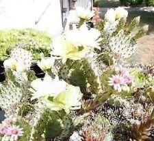 Opuntien-Mix / Samen/ Designideen für die Gartengestaltung / immergrüne Pflanzen
