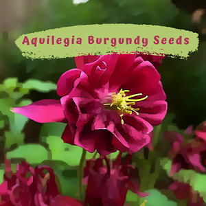 Aquilegia, Granny Bonnets, Columbine  Burgundy Flower 50 plus  Seeds