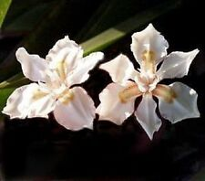 Dietes butcheriana / Forest Iris / Good for shade / 15 Seeds