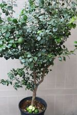 "AUSTRALIAN NATIVE CITRUS ""ROUND LIME-DWARF"" GRAFTED PLANT RARE OPPORTUNITY"