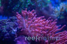 "Rose Bubble Tip Live Sea Anemone: Rbta 1.5-3"""