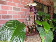 1x tubérculo Bombilla tacca integrifolia Murciélago Habitación Planta ORIGINAL