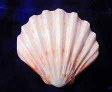 "5 to 6"" POLISHED ORANGE & WHITE LIONS PAW SINGLES SEA SHELL  BEACH DECOR TROPICS"