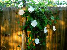 2 Live Moonflower Vine Plants ~ Shipping Now! ~ L@K!