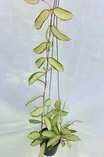 Hoya verticillata variegated 2B2,1 pot rooted plant20-22 inchesVery Rare!