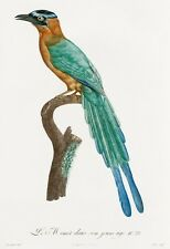 """Barraband and Levaillant: """"Young Motmot"""" (1806) — Giclee Fine Art Print"""