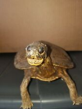 Awesome Taxidermy Turtle Mount