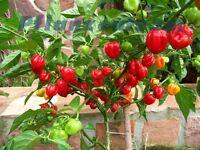 Habanero Red Chili rot *extrem scharf* 15 Samen