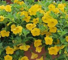 50 Calibrachoa Aloha Canary Yellow Live Plants Plugs Garden Diy Planters D10002