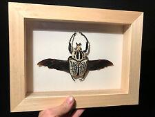 Cadre bois / Framed Insecte Entomologie Goliathus orientalis ailes ouvertes!!!