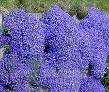 50 pcs PERENNIAL FLOWERING GROUNDCOVER SEEDS -Rock Cress - Bright Blue