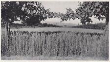 D1977 Val di Chiana - Campi di grano - Stampa d'epoca - 1936 vintage print