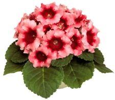 Gloxinia Seeds Peach Rose F1 room flowers Ukraine 5 pelleted seeds