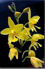 3 BULBS YELLOW SPATHOGLOTTIS AFFINIS GROUND ORCHID PLANT RARE FLOWER RHIZOME