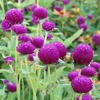 Gomphrena Globosa- Purple- 50 Seeds      - BOGO 50% off SALE