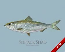 Skipjack Shad Fish Painting American Freshwater Fishing Art Real Canvas Print