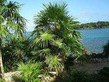 Everglades Palm - ACOELORRHAPHAE WRIGHTII - 6 Seeds - Tropicals