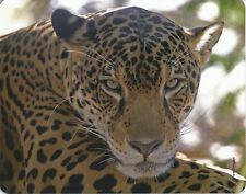 Mauspad Edition Colibri: Leopard, sehr schönes Porträt, Afrika