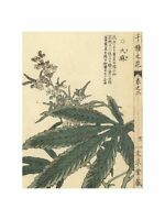 Kono Bairei - Cannabis sativa Kyoto 1900 Print 60x80cm