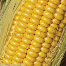 Golden Jubilee CORN 30+ seeds Huge Ears High yield SWEET Hybrid Organic NON-GMO