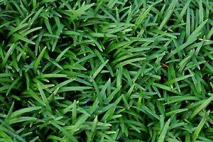 # 50 Stück Japanischer Schlangenbart Ophiopogon japonicus T9x9