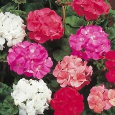 Flower - Geranium Colorama F2 Mix 30 seeds - Premium Quality - 1st Class Post