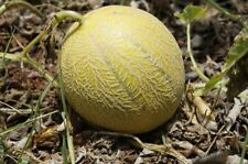 100 Minnesota MIDGET CANTALOUPE MELON Cucumis Melo Reticulatus Fruit Seeds +Gift