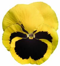 0.2g (approx. 200) yellow blotch pansy seeds RHINEGOLD large blooms, long bloomi