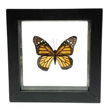 Real Monarch Butterfly Danaus plexippusTaxidermy Frame with Double Sided Glass -