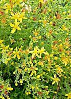 Hypericum st john's wort 100% pure organic dried herb tea infusion 20g/ .7oz