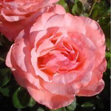 """1 X 'Regina Elisabetta """"ROSA RAMPICANTE (Bare Root) (spedizione gratuita UK)"""