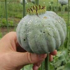 """The Giant"" - 1.000 seeds giant oriental papaver- Somniferum Giganteum - (0,4gr)"