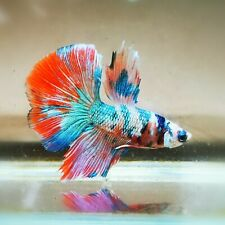 Live Betta Fish - Male - Fancy Multicolor Halfmoon (HFJUN140) (High-Grade)
