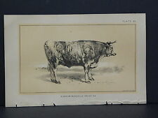 Cows, Bulls, Cattle, Dairy Farming, 1888 Engraving #002 Durham-Mancelle Prize Ox