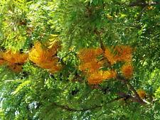 Silk Oak 10 Seeds - Tropical or Bonsai - Grevillia