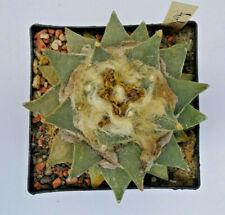 Kakteen – Kaktus – Ariocarpus furfuraceus - groß und sehr schön