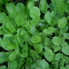 Upland Cress -2,000 Seeds-Non GMO-Open Pollinated-Organic.