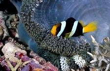 Incorniciato stampa-Clown Pesce nascosti nella sicurezza della barriera corallina (PICTURE POSTER